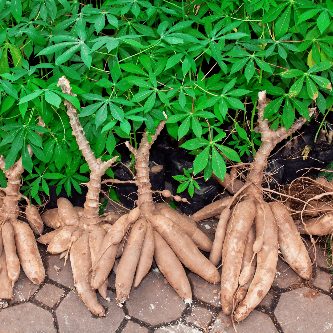 FACTS ABOUT INVESTMENT OPPORTUNITIES IN CASSAVA FARMING AND HOW GREENHILLS FARMSTEAD IS REDEFINING INVESTMENT IN AGRICULTURE